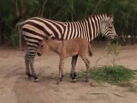 Zonkey: Zoo welcomes the birth of a rare cross between a