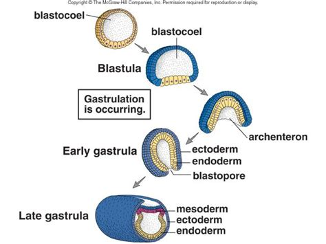 What is the process of gastrulation?   Socratic