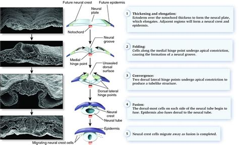 Neurulation and the beginning of neural crest formation in