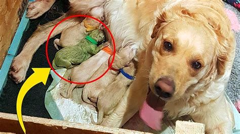 Golden Retriever Mom Gives Birth To a Huge Litter